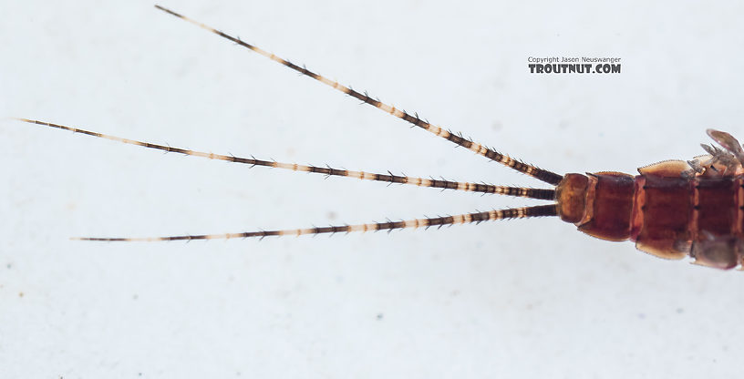 Ephemerella tibialis (Little Western Dark Hendrickson) Mayfly Nymph from Mystery Creek #249 in Washington