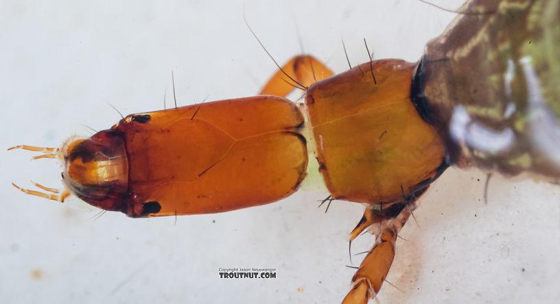 Rhyacophila (Green Sedges) Caddisfly Larva from Mystery Creek #249 in Washington