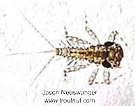 Leucrocuta hebe (Little Yellow Quill) Mayfly Nymph