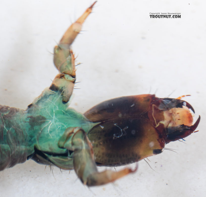 Rhyacophila vocala (Green Sedge) Caddisfly Larva from Mystery Creek #249 in Washington