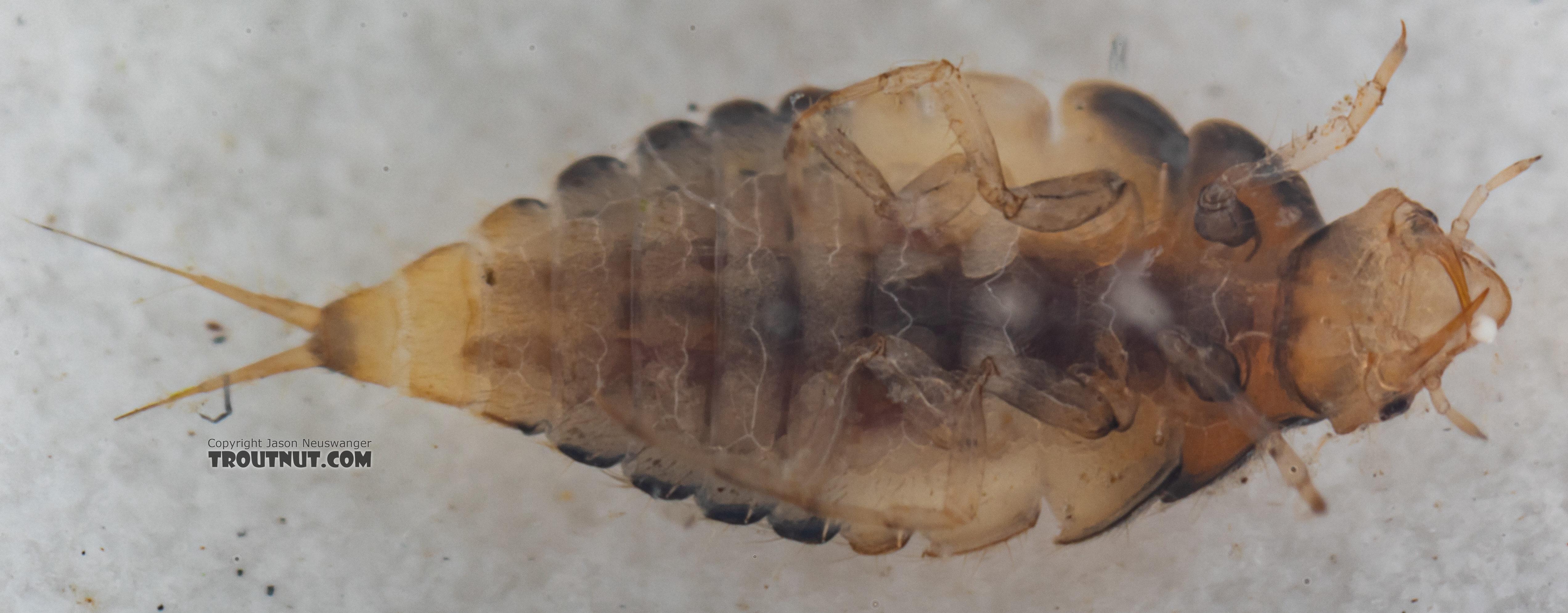 Coleoptera (Beetles) Beetle Larva from Mystery Creek #249 in Washington
