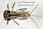 Leucrocuta hebe (Little Yellow Quill) Mayfly Nymph