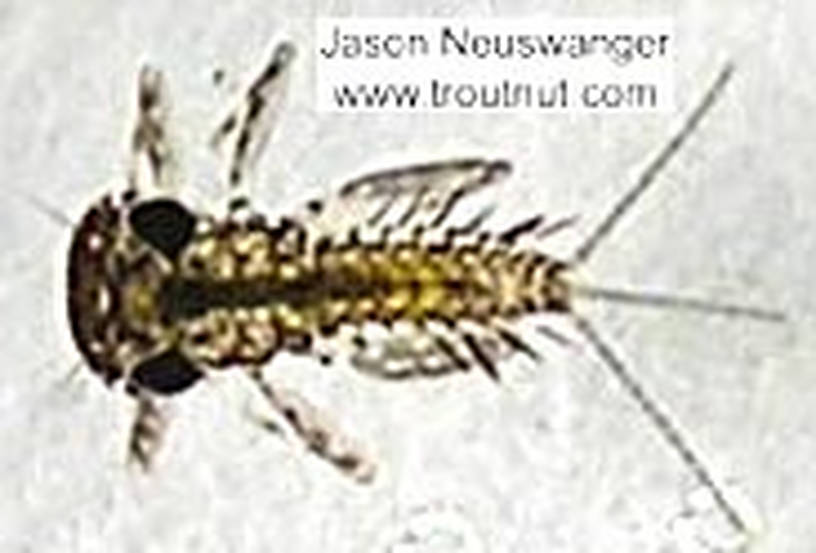 Leucrocuta hebe (Little Yellow Quill) Mayfly Nymph from the Namekagon River in Wisconsin