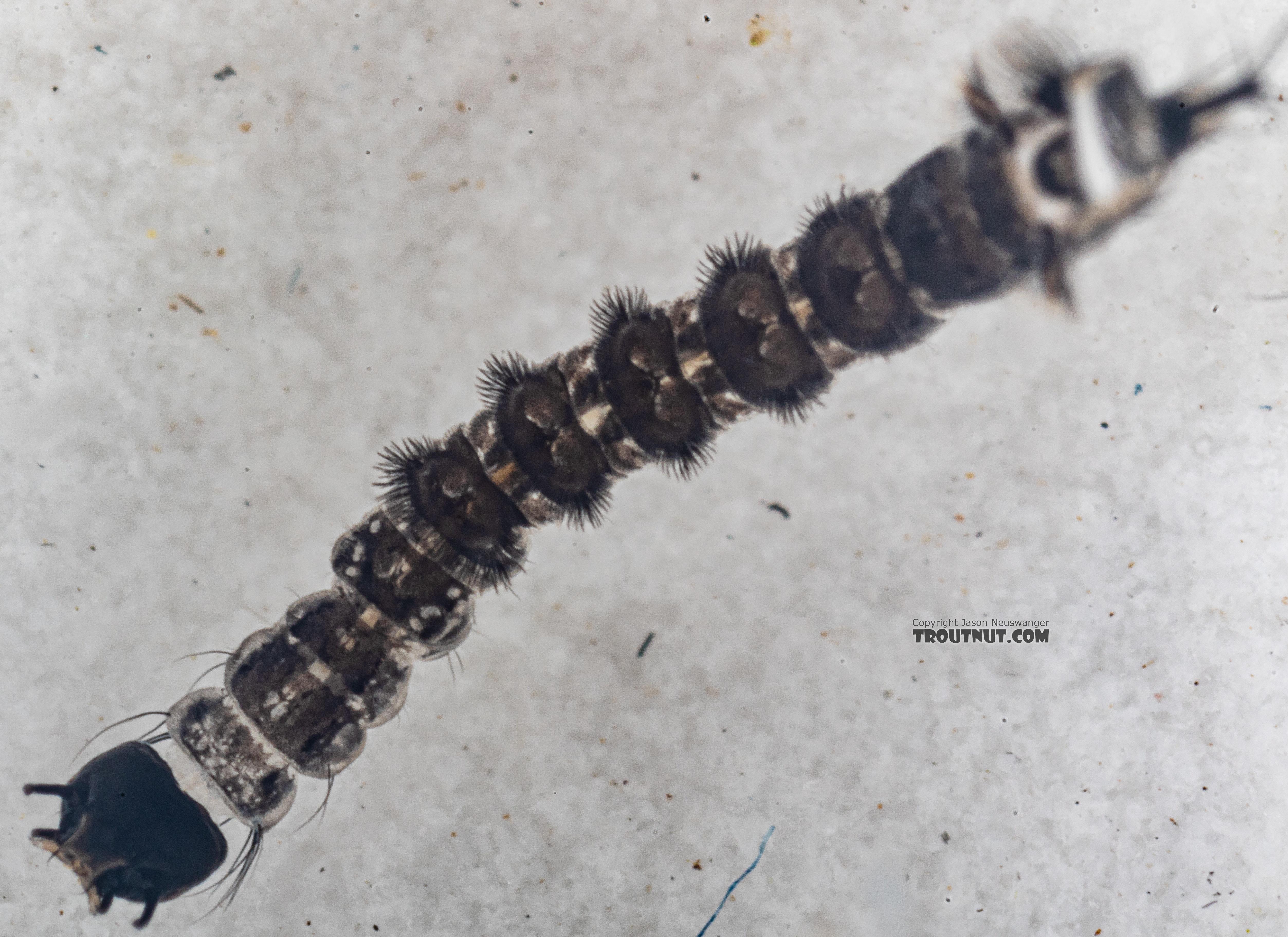 Dixa True Fly Larva from Mystery Creek #249 in Washington