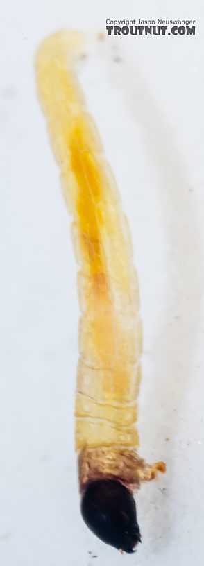 Chironomidae (Midges) Midge Larva from Mystery Creek #249 in Washington