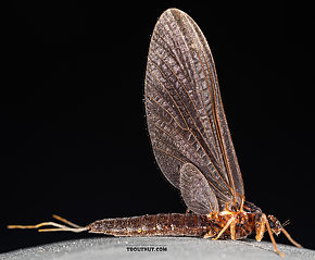 Female Paraleptophlebia (Blue Quills and Mahogany Duns) Mayfly Dun
