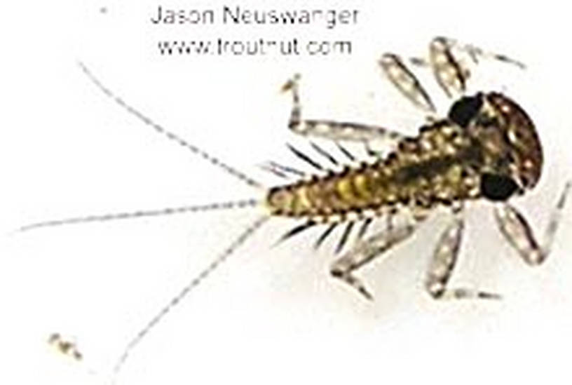 Leucrocuta hebe (Little Yellow Quill) Mayfly Nymph from unknown in Wisconsin