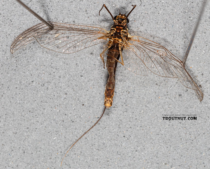 Female Ameletus (Brown Duns) Mayfly Spinner from Mystery Creek #199 in Washington