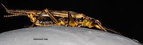 Female Kogotus nonus  Stonefly Adult