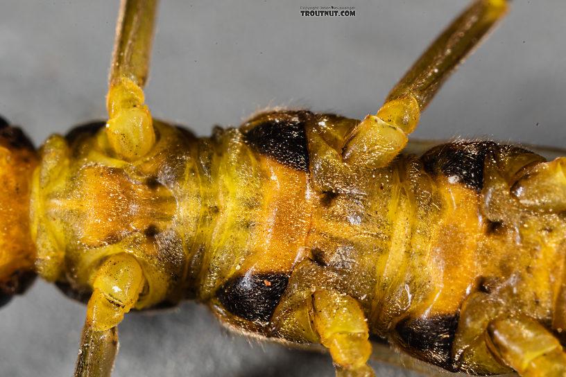 Female Kogotus nonus Stonefly Adult from Mystery Creek #199 in Washington