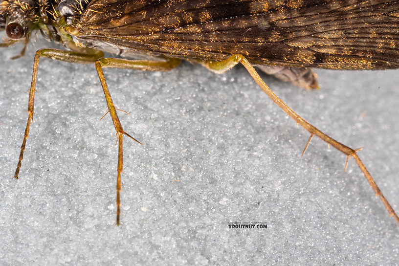Rhyacophila (Green Sedges) Caddisfly Adult from Mystery Creek #199 in Washington