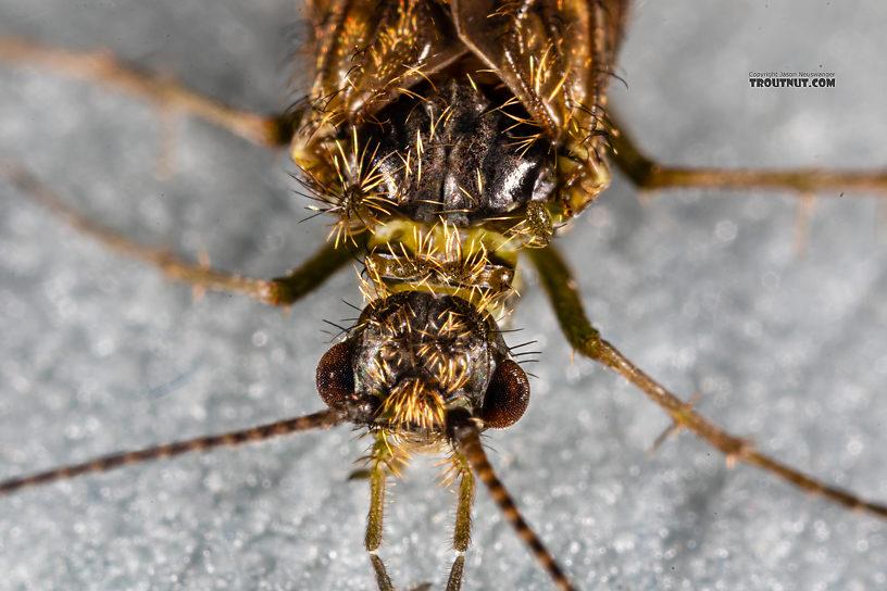 Rhyacophila (Green Sedges) Caddisfly Adult from Mystery Creek #199 in Washington