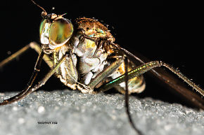 Dolichopodidae  True Fly Adult