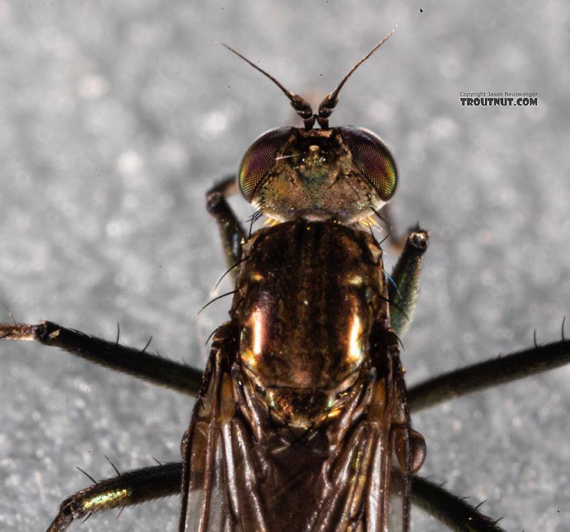 Dolichopodidae True Fly Adult from Mystery Creek #199 in Washington