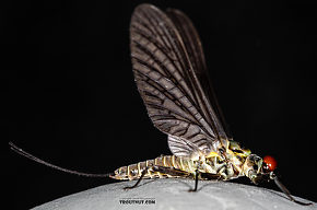 Male Drunella coloradensis (Small Western Green Drake) Mayfly Dun
