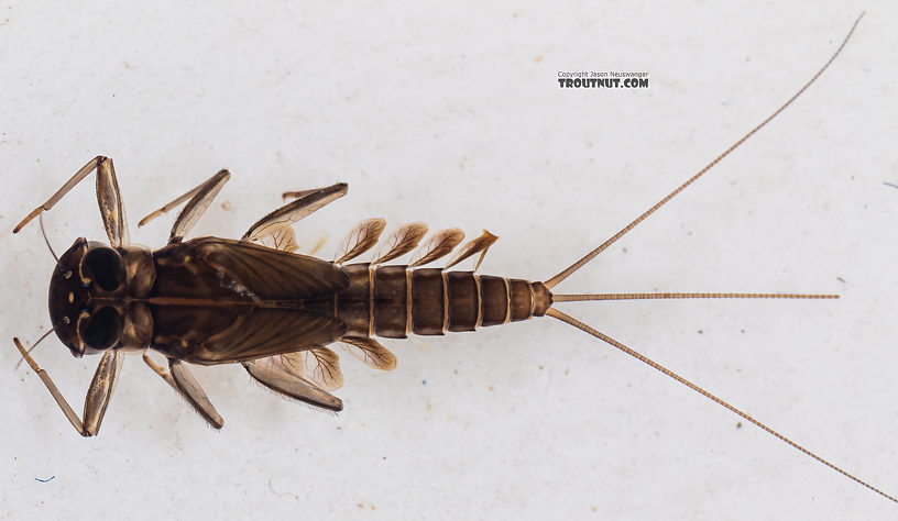 Cinygmula (Dark Red Quills) Mayfly Nymph from Mystery Creek #199 in Washington