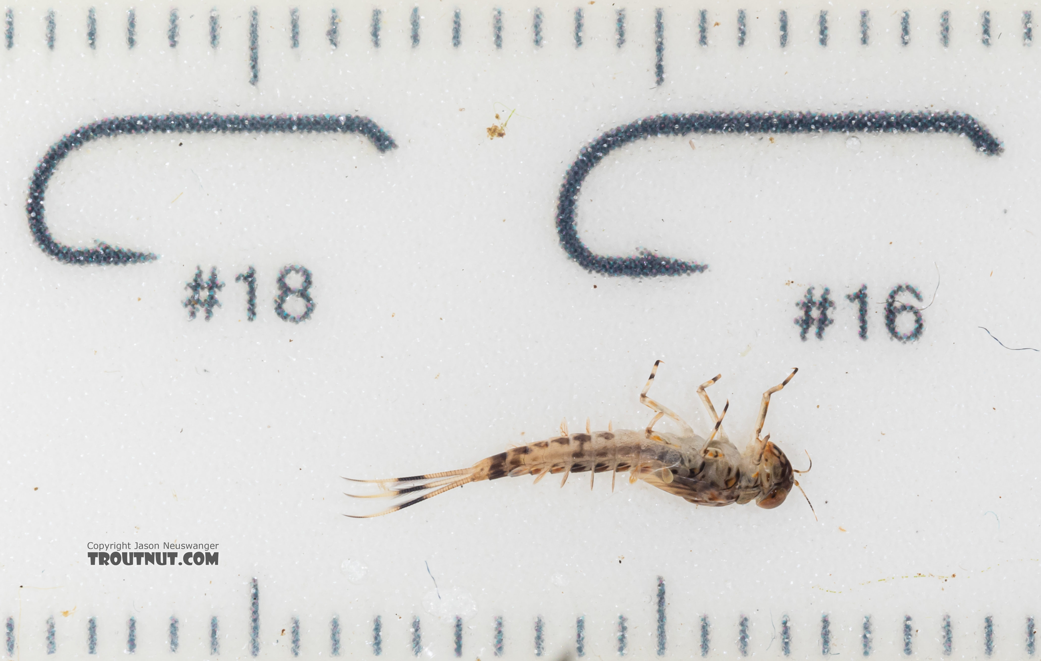 Ameletus (Brown Duns) Mayfly Nymph from Mystery Creek #199 in Washington
