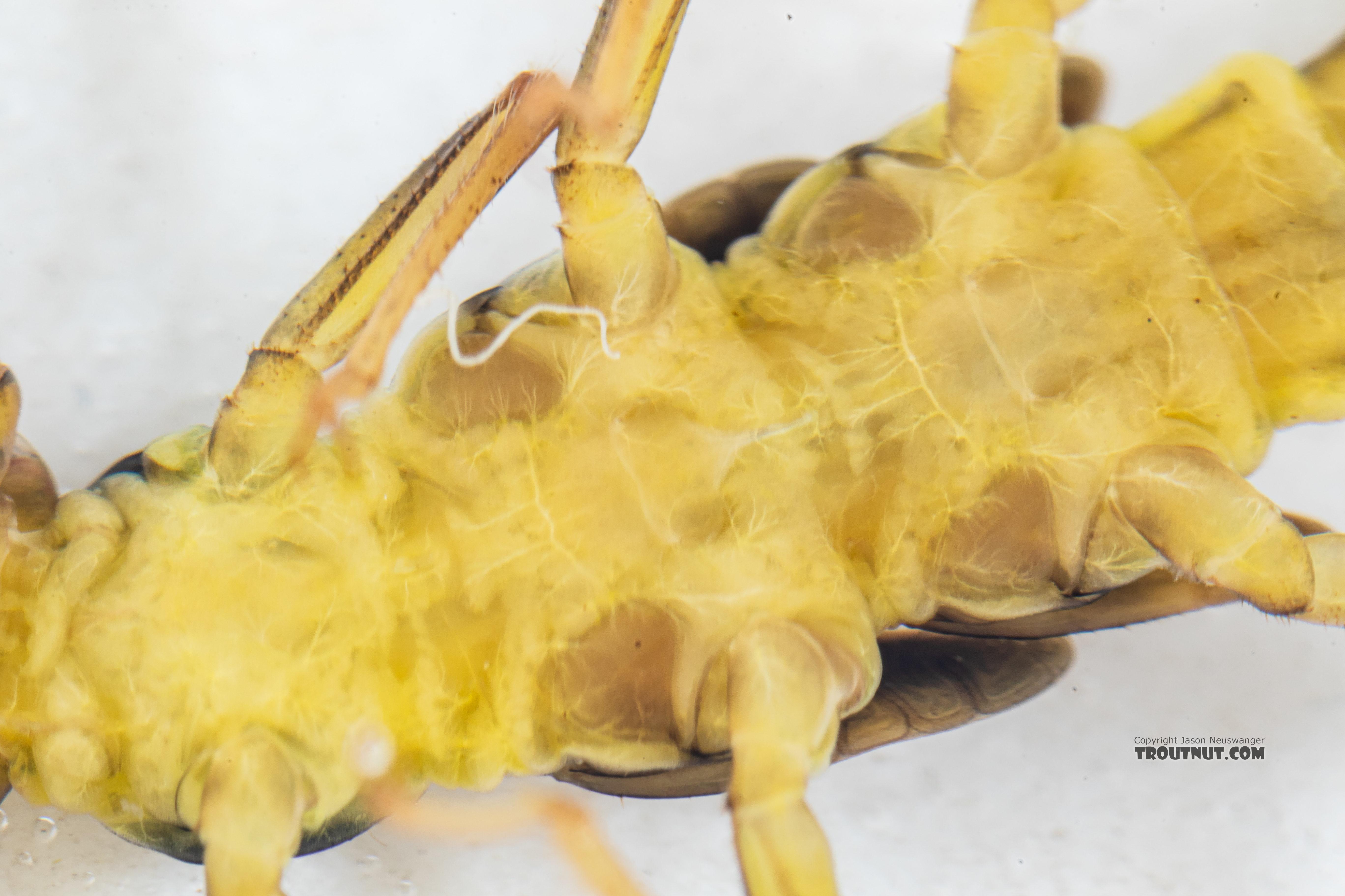 Kogotus nonus Stonefly Nymph from Mystery Creek #199 in Washington