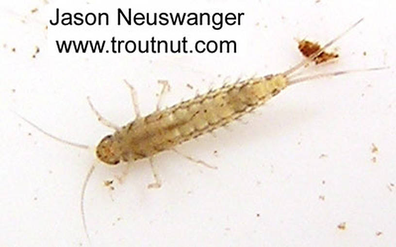 Baetidae (Blue-Winged Olives) Mayfly Nymph from unknown in Wisconsin