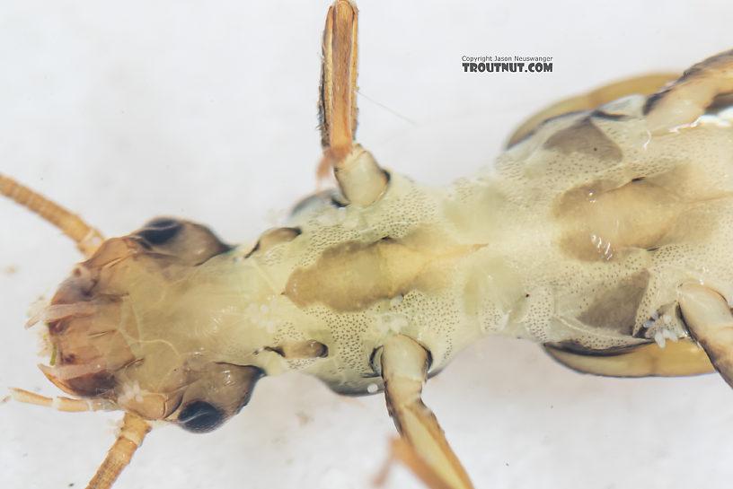 Suwallia pallidula (Sallfly) Stonefly Nymph from Mystery Creek #199 in Washington