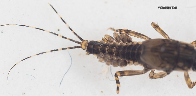 Serratella micheneri (Little Western Dark Hendrickson) Mayfly Nymph from Mystery Creek #199 in Washington