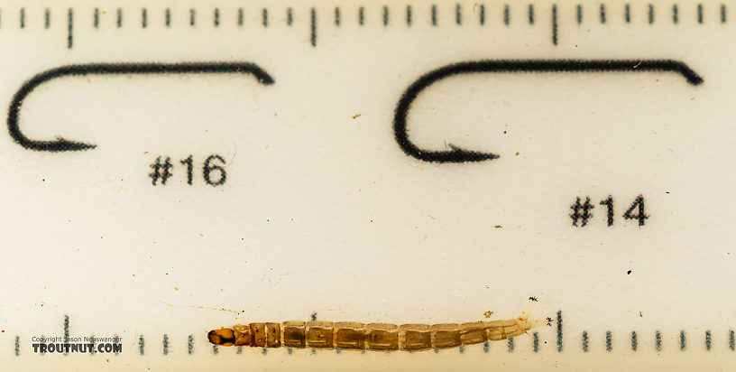 Chironomidae (Midges) Midge Larva from Mystery Creek #199 in Washington