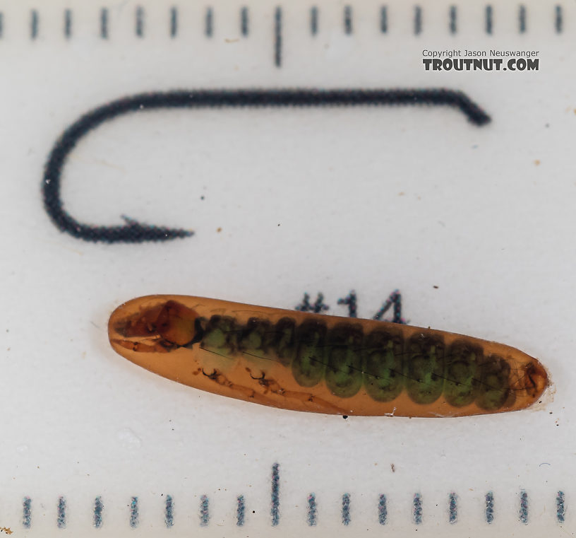 Rhyacophila (Green Sedges) Caddisfly Pupa from Mystery Creek #199 in Washington
