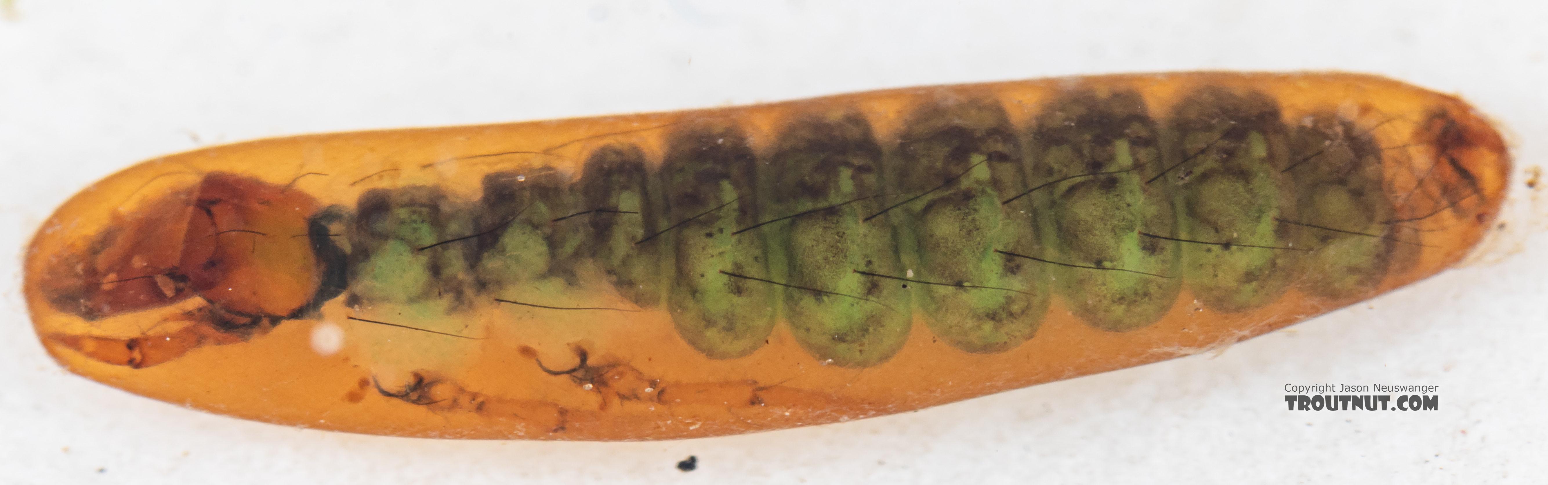 Rhyacophila (Green Sedges) Caddisfly Pupa from Mystery Creek #199 in Washington