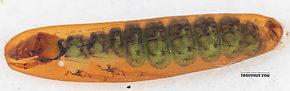 Rhyacophila (Green Sedges) Caddisfly Pupa