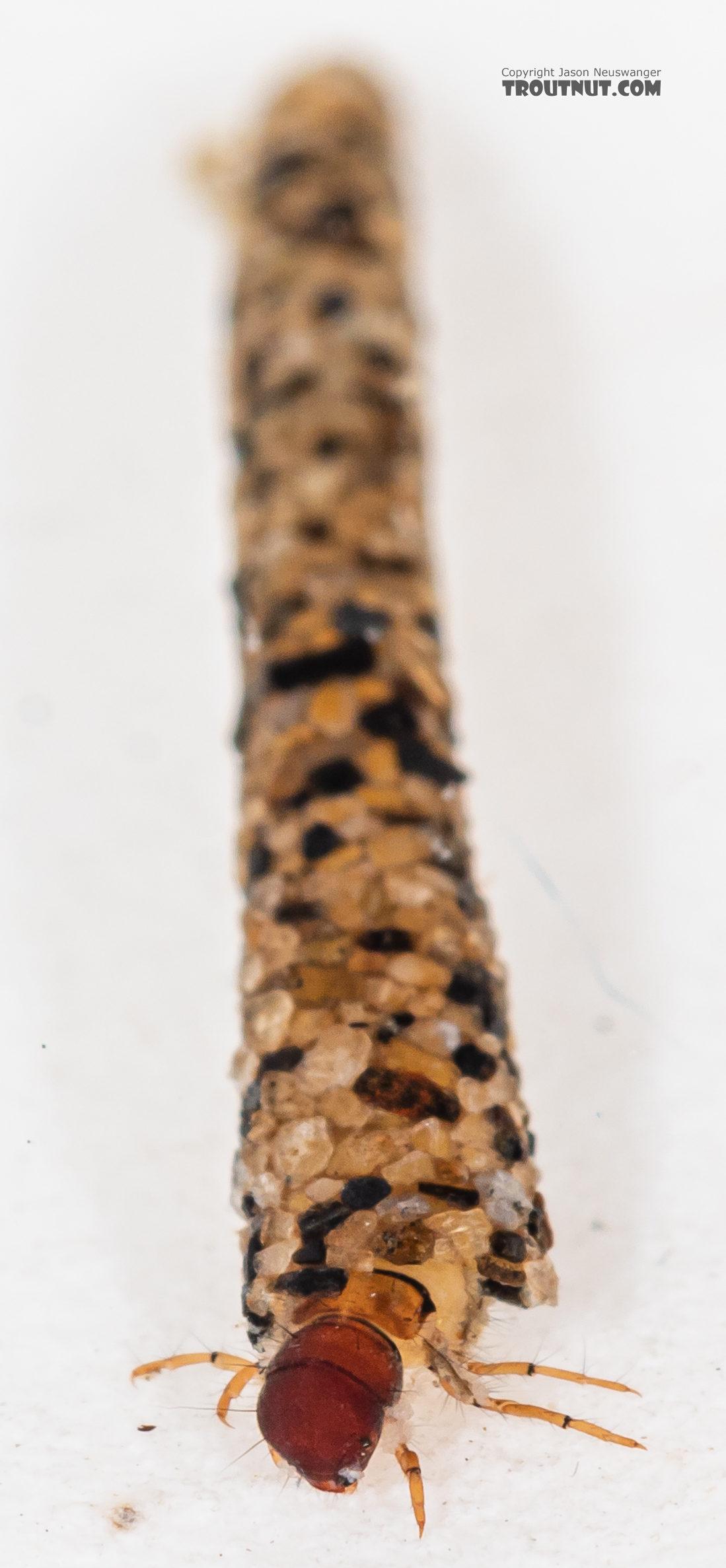 Lepidostoma (Little Brown Sedges) Little Brown Sedge Larva from Mystery Creek #199 in Washington