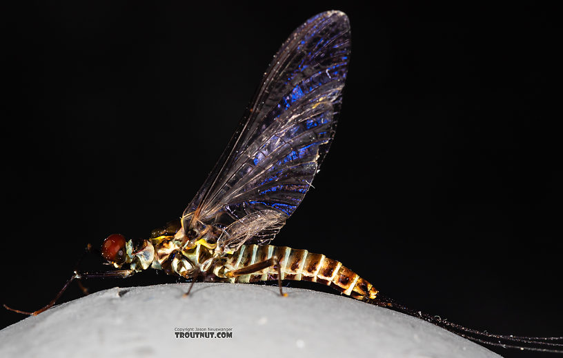 Male Drunella coloradensis (Small Western Green Drake) Mayfly Spinner from Mystery Creek #199 in Washington