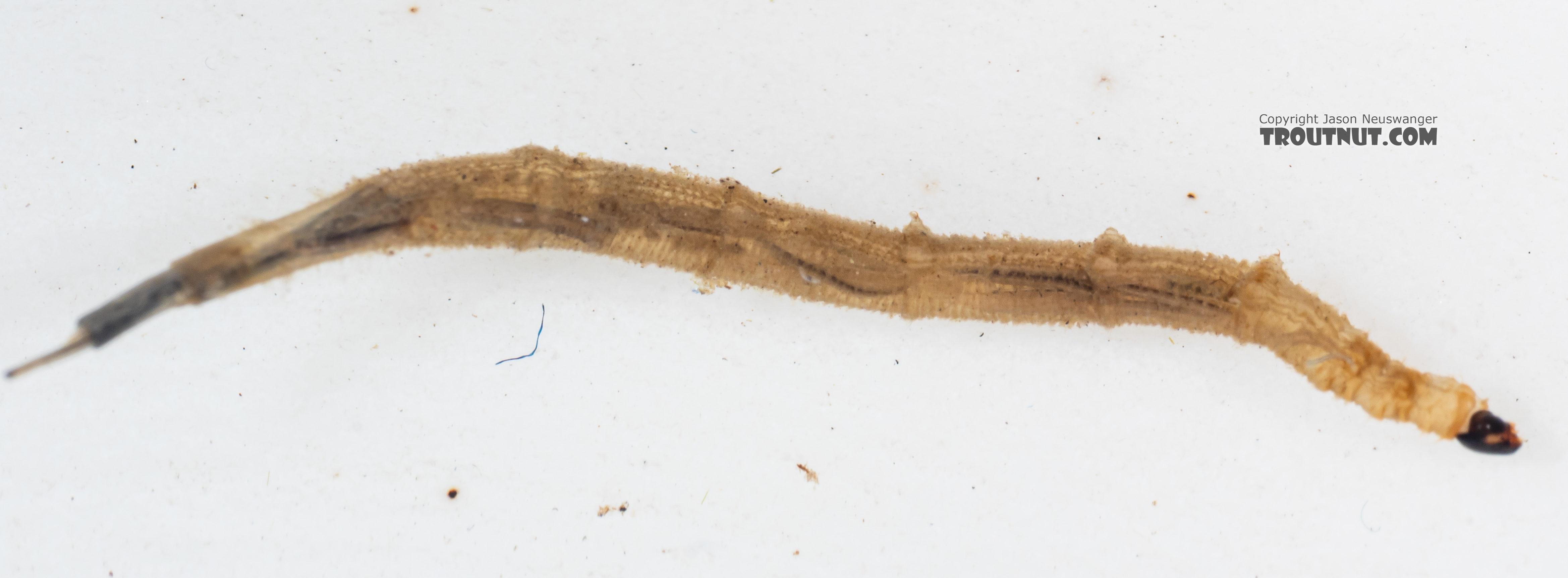 Ptychopteridae (Phantom Crane Flies) Phantom Crane Fly Larva from Mystery Creek #199 in Washington