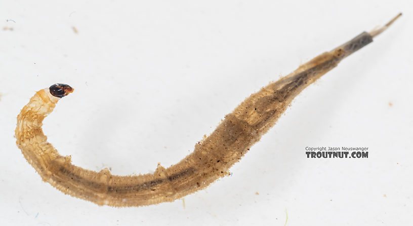 Ptychopteridae (Phantom Crane Flies) Phantom Crane Fly Larva from Mystery Creek #199 in Washington