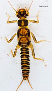 Kogotus nonus  Stonefly Nymph