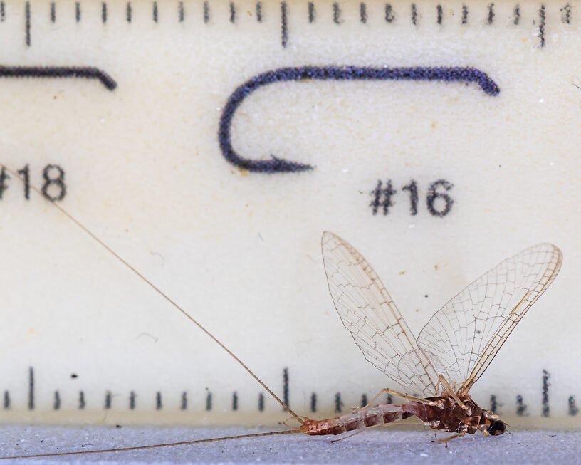 Male Cinygmula par Mayfly Spinner from Mystery Creek #249 in Washington