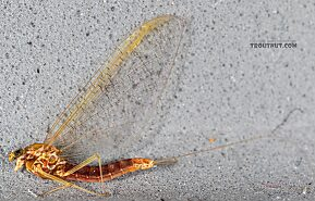 Female Cinygmula par  Mayfly Spinner