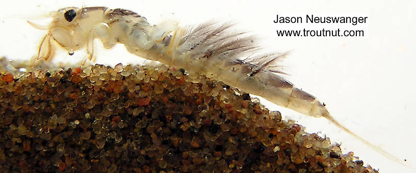 Hexagenia limbata (Hex) Mayfly Nymph from unknown in Wisconsin