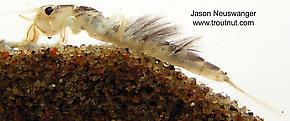 Hexagenia limbata (Hex) Mayfly Nymph