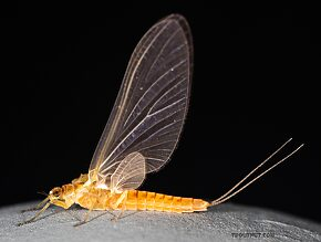 Female Ephemerella excrucians (Pale Morning Dun) Mayfly Dun