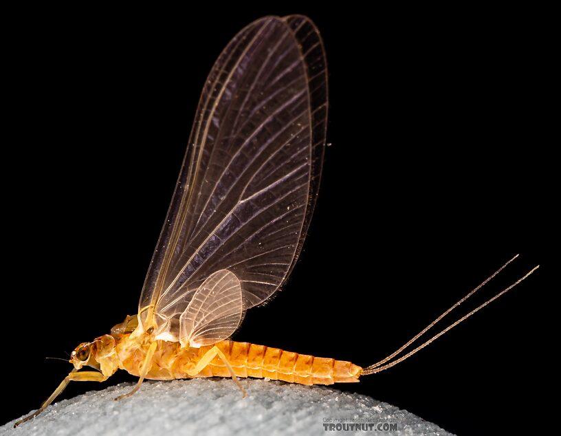 Female Ephemerella excrucians (Pale Morning Dun) Mayfly Dun from Mystery Creek #249 in Washington