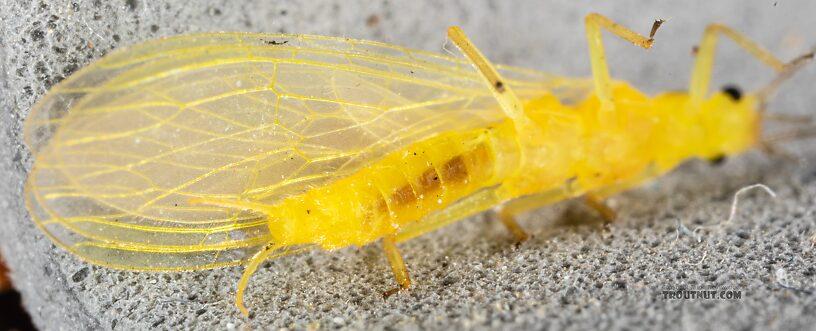 Female Chloroperlidae (Sallflies) Stonefly Adult from Mystery Creek #249 in Washington
