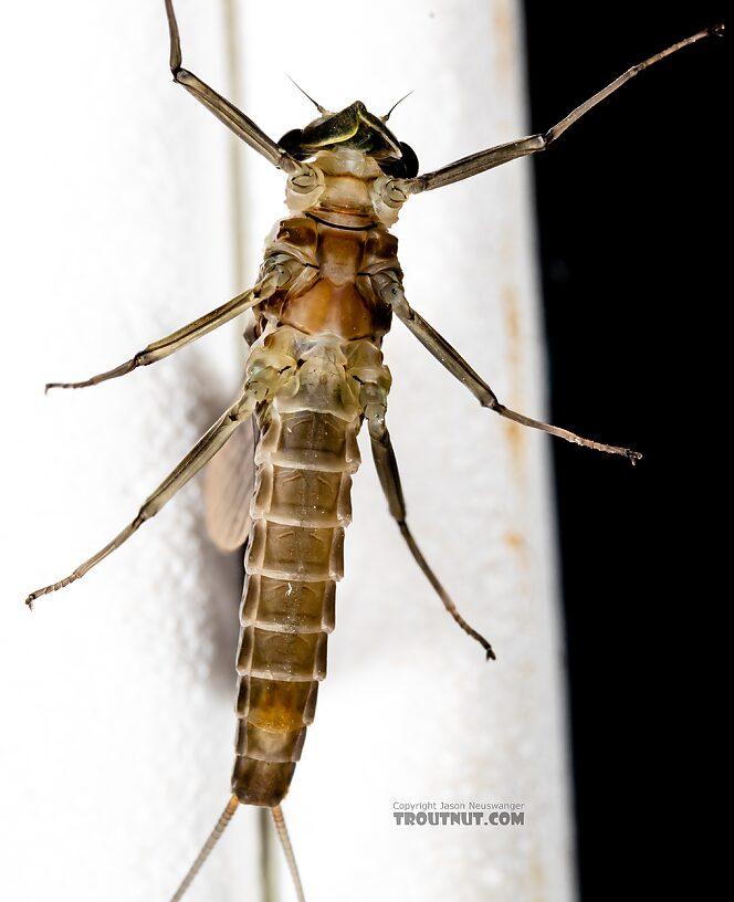 Female Rhithrogena hageni (Western Black Quill) Mayfly Dun from Mystery Creek #249 in Washington