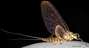 Female Rhithrogena hageni (Western Black Quill) Mayfly Dun