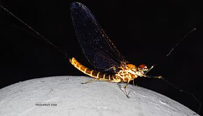 Male Rhithrogena hageni (Western Black Quill) Mayfly Spinner