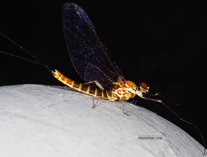 Male Rhithrogena hageni (Western Black Quill) Mayfly Spinner from Mystery Creek #249 in Washington