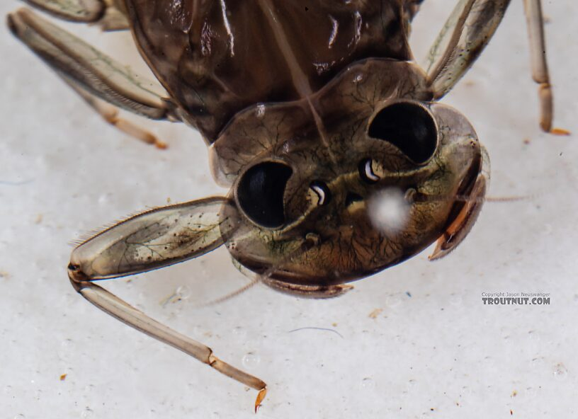 Rhithrogena hageni (Western Black Quill) Mayfly Nymph from Mystery Creek #249 in Washington