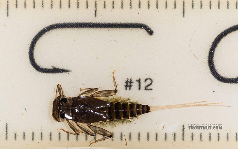 Body 11 mm long  Rhithrogena hageni (Western Black Quill) Mayfly Nymph from Mystery Creek #249 in Washington