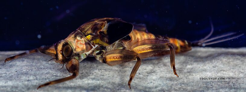 Drunella doddsii (Western Green Drake) Mayfly Nymph from Mystery Creek #249 in Washington