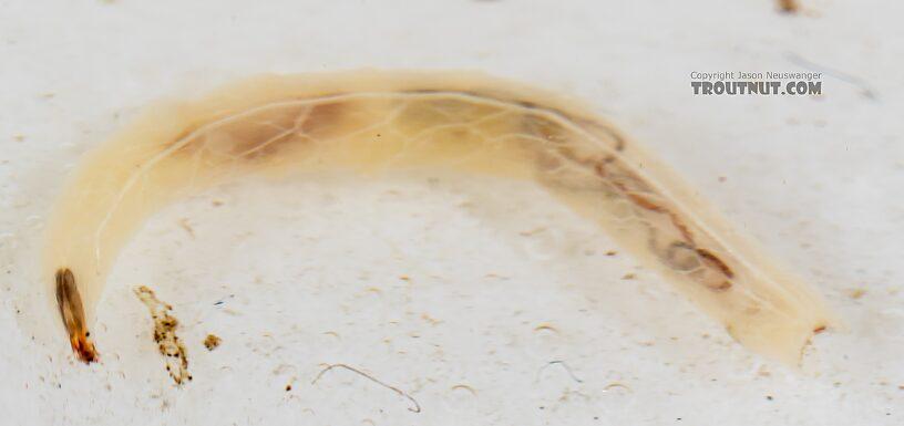 Dolichopodidae True Fly Larva from Mystery Creek #249 in Washington