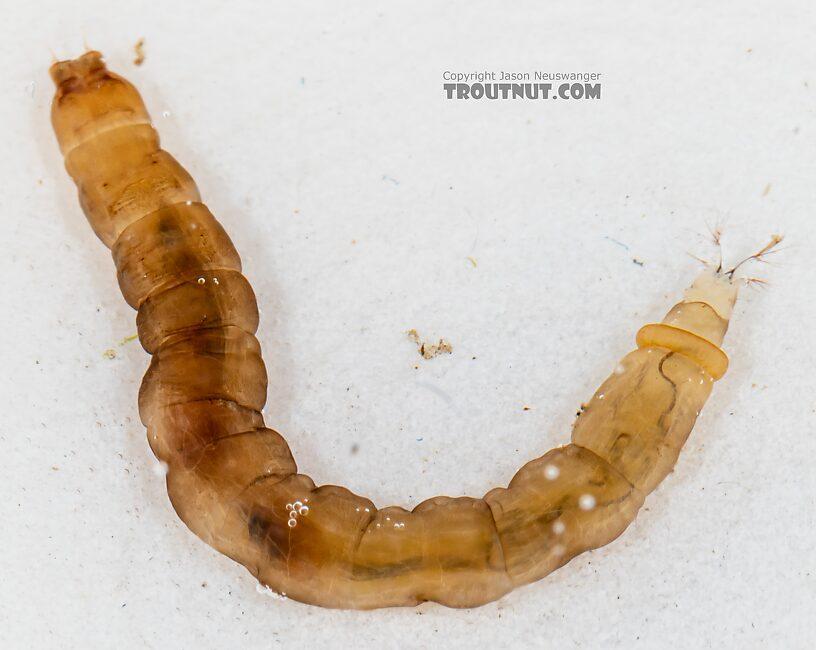 Hexatoma True Fly Larva from Mystery Creek #249 in Washington